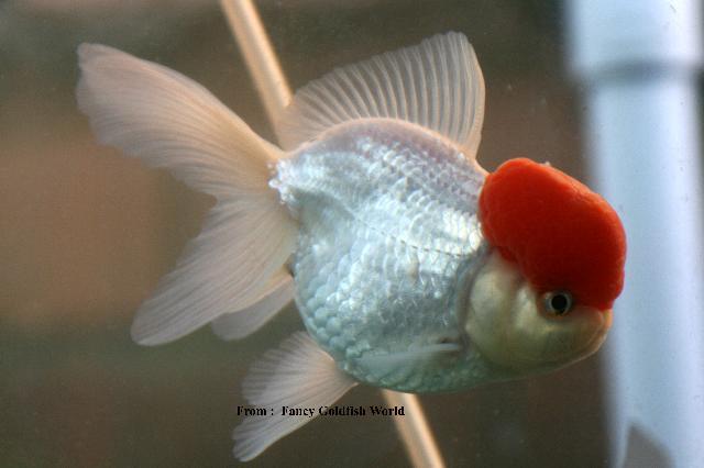 Baby Red Cap Oranda Goldfish